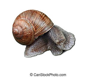 blinked snail - Big scared snail with cockleshell isolated...