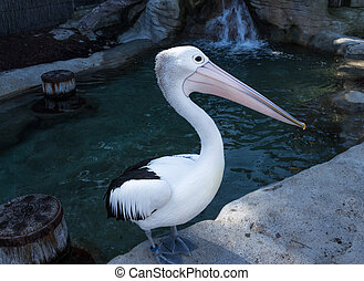 Australian pelican sea bird - Black and white pelican...
