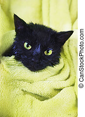 Black Cute soggy Cat after Bath - Black Cute Soggy Cat after...