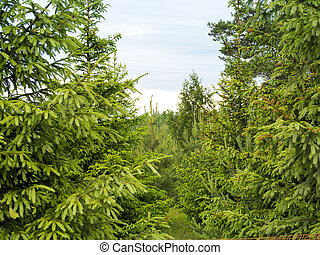 Forrest of green pine trees on mountainside
