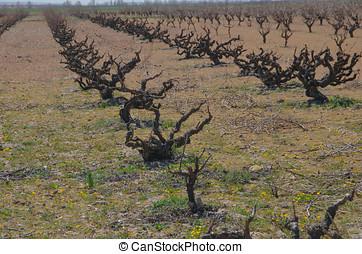 Dried plants of vine in Morales de Toro, Zamora, Spain