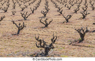 Dried vines in the field - Pruned vines in the field...
