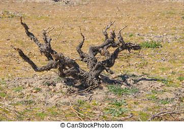 Viticulture. Dry vine in Morales de Toro, Zamora, Spain