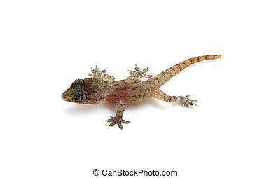 House lizard - gecko isolated on white background