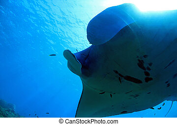Manta Ray - Close-up of a Manta Ray Manta Birostris...