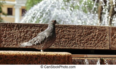 Pigeons in fountain - Several pigeons drink water in...