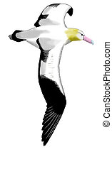 curto-short-tailed, Albatroz