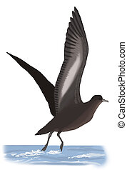 Short-tailed Shearwater - Puffinus tenuirostris