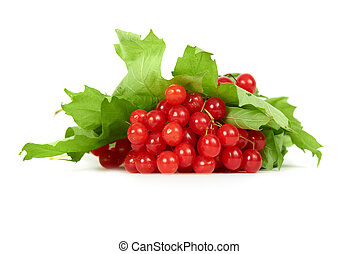 Bunch of red berries- guelder rose Viburnum opulus with...