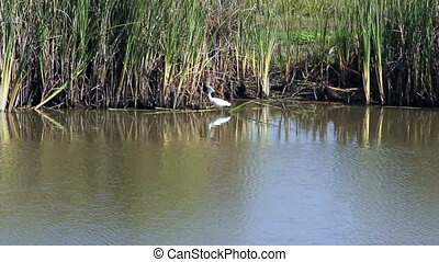 White Egret In California Wetlands - White Egret In Wetlands...