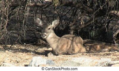 Deer Resting In Sonoran Desert