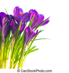First spring flowers - bouquet of purple crocuses isolated...