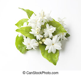 Jasmine flowers fresh isolated on white background