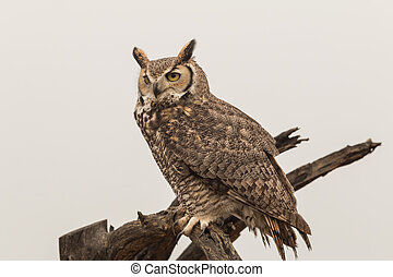 Great Horned Owl - a great horned owl perched on a branch