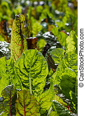 chard leaves - close up of chard leaves
