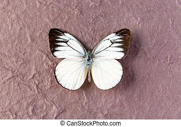 Timor Gull white butterfly - Cepora laeta butterfly or Timor...