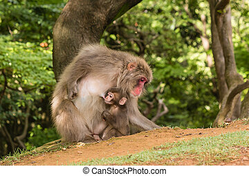 macaque feeding baby monkey - macaque mother feeding baby...