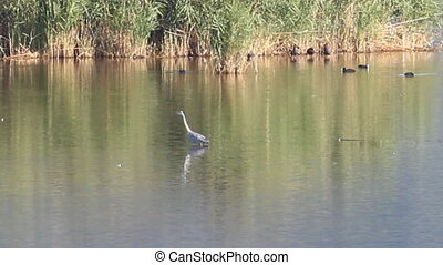 grey Heron in Vico lake, Lazio, Italy