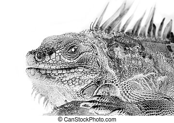 Black and white portrait of Green Iguana, Reptile. Invert...