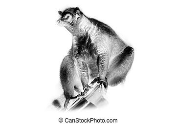 Black and white portrait of Ring-tailed lemur sun-loving...