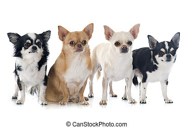group of chihuahuas in front of white background