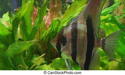 Angelfish in Aquarium 02 - Angelfish in tropical aquarium.