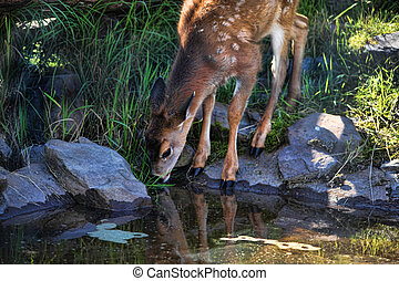 Fawn Drinking From Pool with Reflection - Baby fawn with...