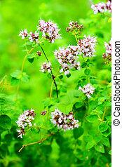 Oregano, marjoram, Origonum vulgare, Lamiaceae, southern...