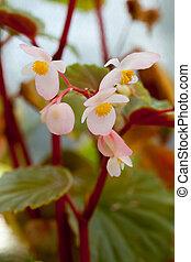 Begonia philippines sp, Luzon