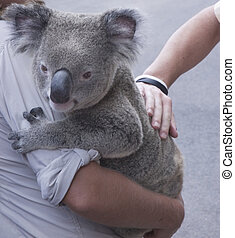 Koala getting a pat