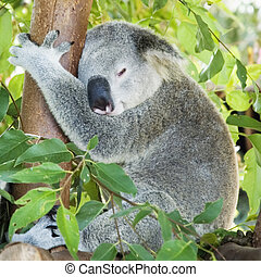 Koala sleeping in eucalypt tree - Koala sleeping in...