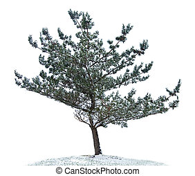 Pine Tree Isolated - Scraggly pine tree isolated on white...