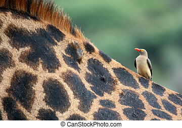 Giraffe and Oxpecker Bird - Tanzania, Africa - Giraffe -...