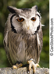 Dwarf owl against green foliage