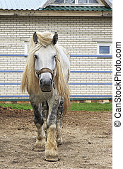 Beautiful stallion gray suit breed Percheron - Beautiful...