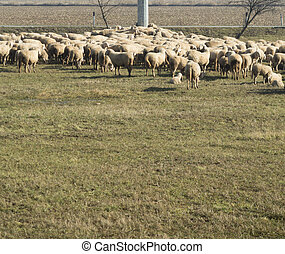 lambs and sheep in the flock