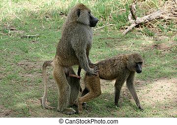 -, tansania, afrikas, pavian