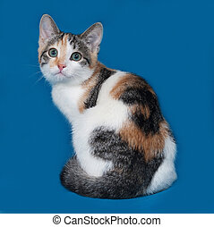 Tricolor kitten sitting on blue background
