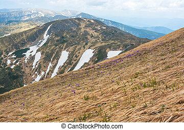 Purple flowers, crocus, on the hillside.