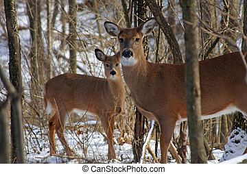 White-tail Deer Doe Standing  With Young In Background