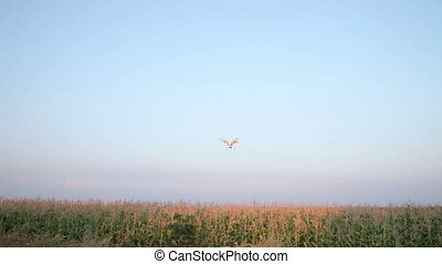 Flight Quadrocopters Over Corn Field. Handheld....