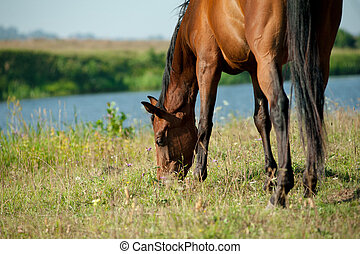 Purebred horse grazing nearby the river