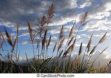 Miscanthus floridulus on blue sky background