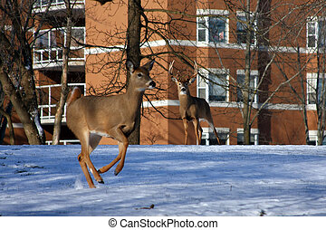 White-tail Deer Buck Where Do You Go From Here