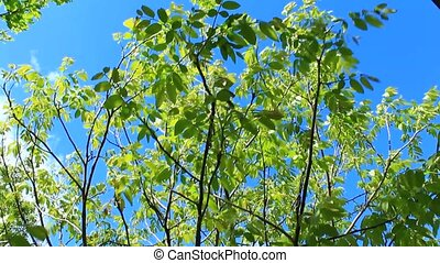 branches of walnut tree - green branches of blossoming...