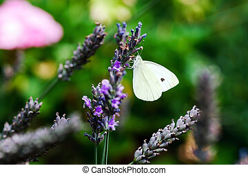 Butterfly flying over lavender flowers, summer garden