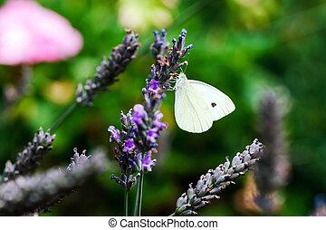 Butterfly flying over lavender flowers, summer garden
