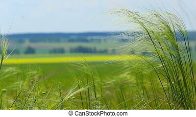 Feather Grass or Needle Grass, shallow DOF