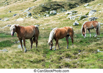 Wild horses grazing on a mountainside