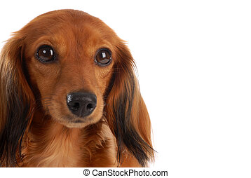 miniature long haired dachshund head portrait - on white...